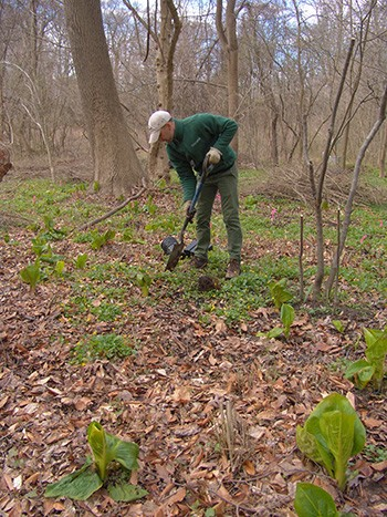 Piles of the invasive pivet can be seen behind Gardenr Adam Glas while he plants native species to replace them. photo credit: R. Robert