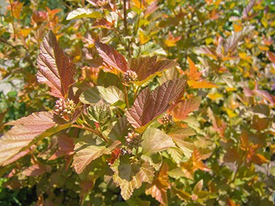The orange leaves of Physocarpus obulifoius Amber Jubilee TM will mature to lime-green, completing the cycle with purple in the fall. photo credit: R. Robert