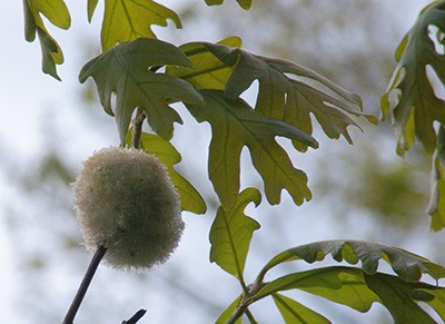 This gall is produced by the harmless Cynipid gall wasp (Callirhytis seminator). photo credit: R. Robert