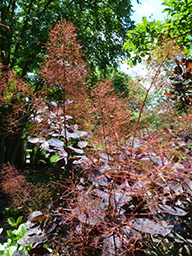 Cotinus coggygriaLAW(d)