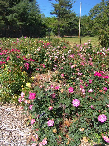 The Scott Arboretum continues to participate in the trial program for 2017 - 2018. photo credit: R. Robert