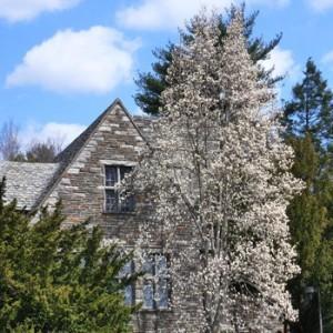 Magnolia-denudata-Swarthmore-Sentinel-2-JWC2
