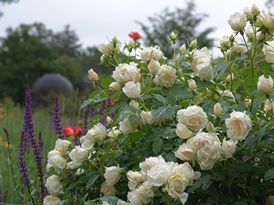 Rosa IcecapTM has a classic rose form the color of clean white linen.  photo credit: R. Robert