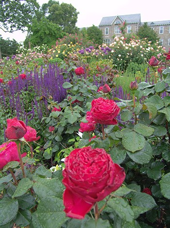 The Dean Bond Rose Garden is planted with a variety of roses and perennials. photo credit: R. Robert