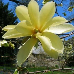 magnolia_scott
