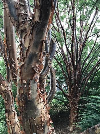 Acer griseumLAW(c)