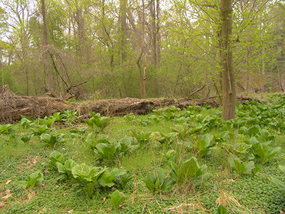 Unique Ecosystem of Skunk Cabbage Hollow