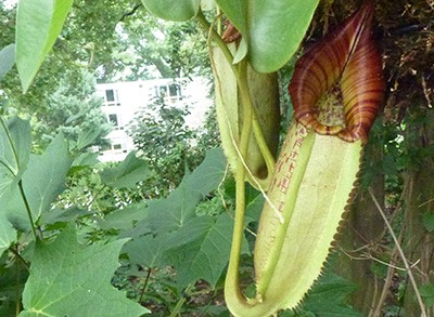 Nepenthes sp. GW-1