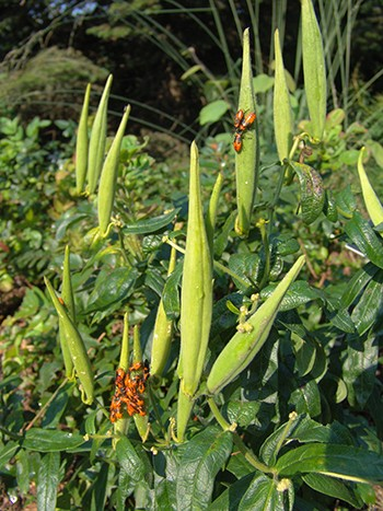 This time of year, all stages of these insects' lifecycles can be found on Asclepias seed pods. photo credit: R. Robert