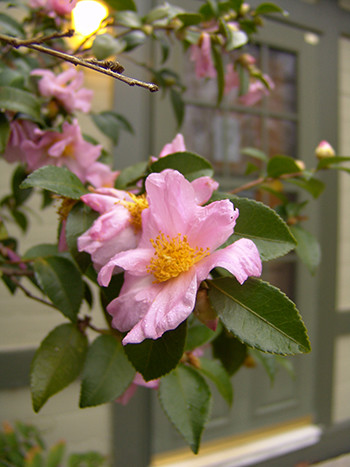 Hardy Camellias: The April Series