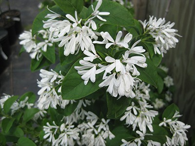 produces a cloud of fragrant white flowers in late spring.