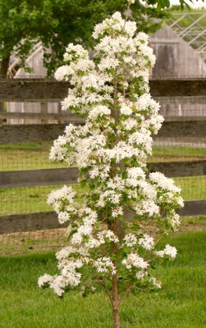 Beautiful year-round and unique due to its columnar form, Chionanthus retusus 'Tokyo Tower' bears glossy, dark green leaves . photo credit: Pleasant Run Nursery