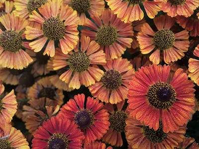 Helenium autumnale_003RMA