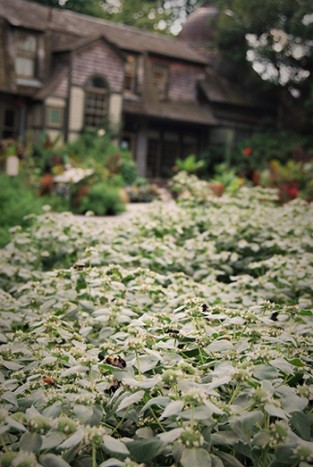 Pycnanthemum muticumRMA_003