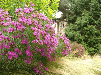 bears an abundant quantity of striking purple-pink flowers in late summer. photo credit: R. Robert