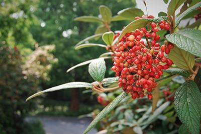 Viburnum rhytidophyllumRMA_002