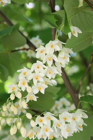 Styrax obassia; 97-051A; spring; flower; closeup