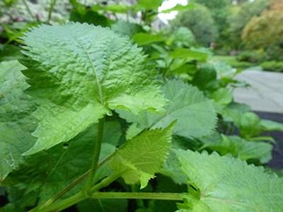 Salvia glabrescens 'Shi Ho' JTB (1)