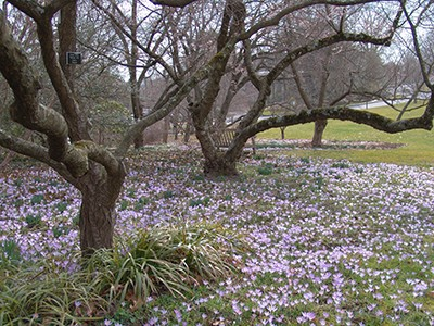 The early blooming crocus will brighten up that patch of lawn, becoming a sea of purples, greens, and whites in the spring.  photo credit: R. Robert