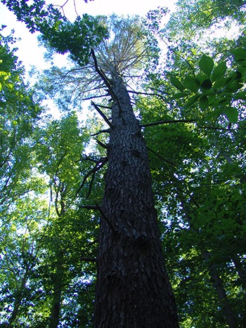 Ancient hemlock towering over the tree canopy in the Martin Forest. photo credit: R. Robert