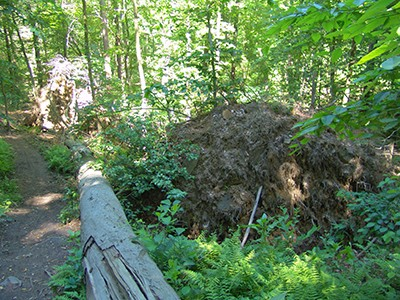 A characteristics of an old-growth forest, tip-ups can be found along the trails. photo credit: R. Robert