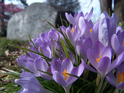 Plant a naturalizing bulb, such as Crocus tommasinianus, seen in front of the entrance rock at Swarthmore College. photo credit: R. Robert