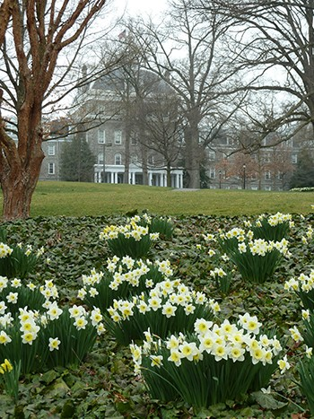 When initially planting Narcissus (daffodils), clump the bulbs in masses so the first year is as impactful as the years to come. photo credit: J. Coceano