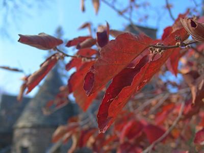 Hamamelis vernalis 'Red Imp' JTB (2)