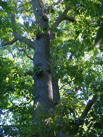 Oaks in the woods