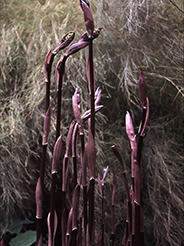This Disporum cultivar is known for its elegant chocolate-brown spring shoots. photo credit: Dan Hinkley