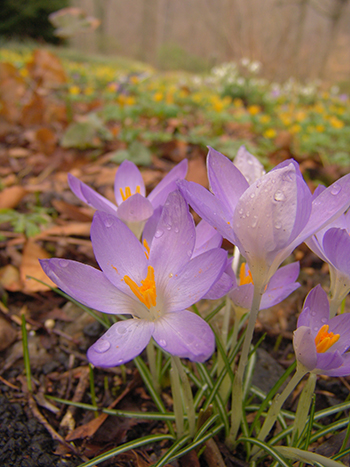 The Winter Garden Choosing The Best Winter Flowering Perennials