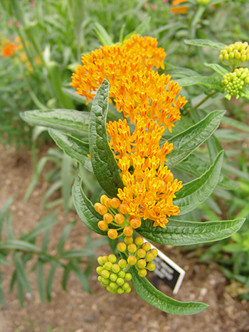 butterfly weed in bloom