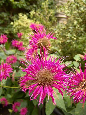 blooming monarda