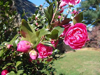 medium-sized peony-like flowers