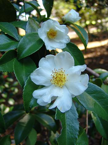 White flower camellia