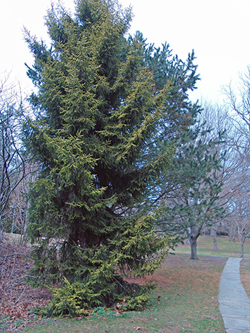 Large conifer tree