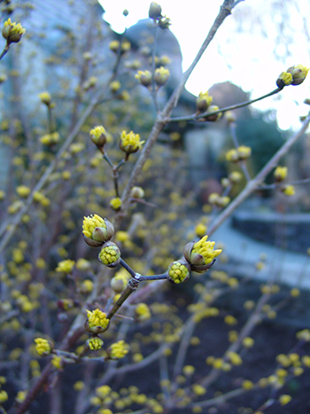dogwood yellow blooms