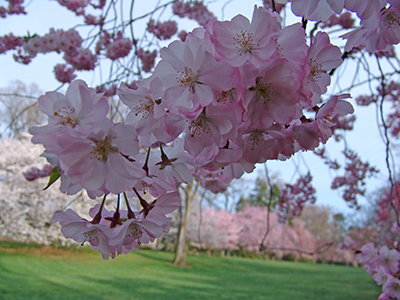 light pink cherry blooms