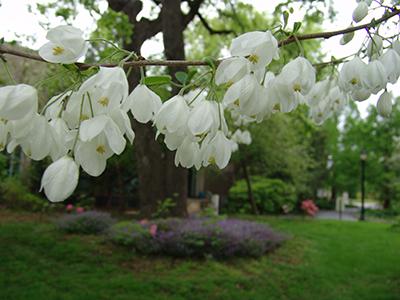 Halesia diptera var magniflora white blooms