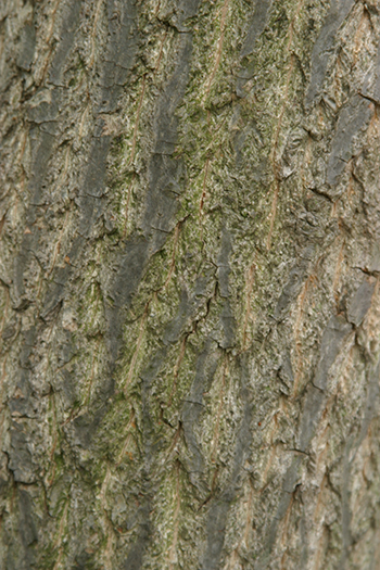 The bark of Halesia trees is also a favorite of mine, strong in appearance, it features gray with darker striations and flattened ridges.