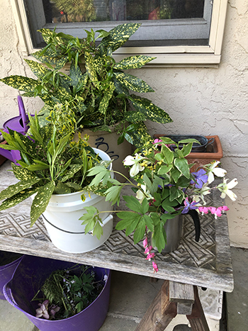 buckets of cuttings in the garden