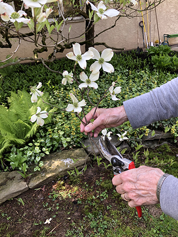 Selecting dogwood flowers from the garden.