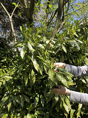 Taking a cutting from Acuba.