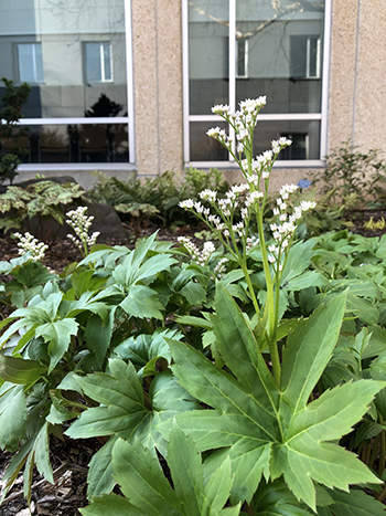 Small white blooms tower over foliage of perennial