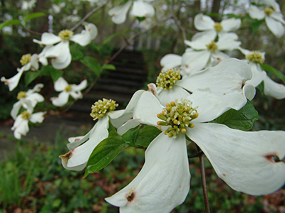 White flowers of Cornus florida along woodland edge.