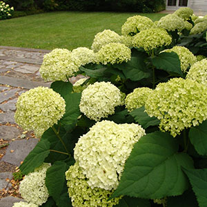 Hydrangea Gold Medal Garden block 300 by 300
