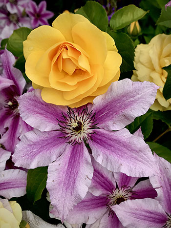 yellow rose with purple clematis