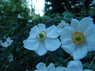 The flowers of Anemone x hybrida 'Honorine Jobert' feature single to semi-double overlapping white tepals (the petals and sepals are indistinguishable), and abundant orange-yellow stamens surrounding a chartreuse pistil.