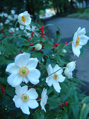 The white flowers do an excellent job brightening up a part-shade garden, accentuating the brightly colored stamens.
