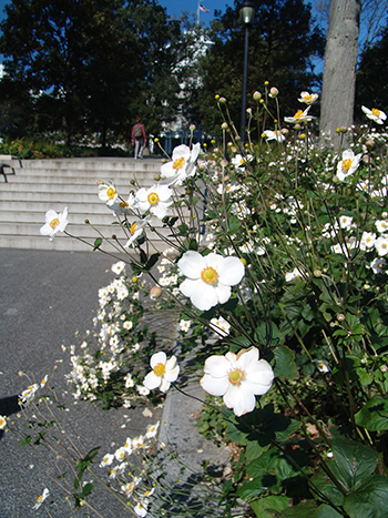 Japanese anemones possess an air of elegance